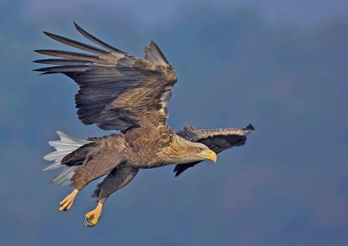 eaglegle